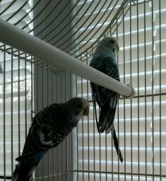Волнистые попугаи Джек и Джесси