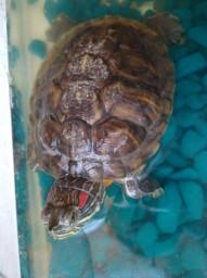 Красноухая черепаха - Маша